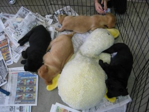 puppies at the seeing eye foundation